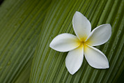 Kauai Island Posters - A Plumeria Flower Used In Making Leis Poster by John Burcham