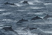 Groups Of Animals Posters - A Pod Of Common Dolphins Leaping Poster by Ralph Lee Hopkins