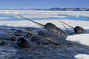Monoceros Prints - A Pod Of Male Narwhals Gather Print by Paul Nicklen
