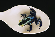 Animal Research Framed Prints - A Poison Dart Frog Rana Species Sits Framed Print by O. Louis Mazzatenta
