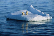 Polar Bear (ursus Maritimus) Posters - A Polar Bear And Her Cub Rest On An Poster by Paul Nicklen