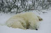 Churchill Wild Posters - A Polar Bear And Her Cub Sleep Poster by Maria Stenzel