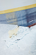 Sniffing Prints - A Polar Bear Approaches A Cruise Ship Print by Ralph Lee Hopkins