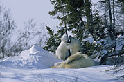 Natural Forces Art - A Polar Bear Cub Plays With Its Resting by Norbert Rosing