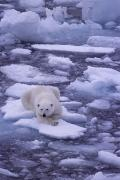 Wildlife Disasters Photos - A Polar Bear Drifts On Floating Ice by Gordon Wiltsie