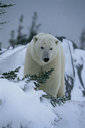 Animal Portraits Prints - A Polar Bear In A Snowy, Twilit Print by Norbert Rosing