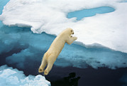 Ursus Maritimus Prints - A Polar Bear Leaps Between Ice Floes Print by Ralph Lee Hopkins