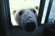 Polar Bear (ursus Maritimus) Prints - A Polar Bear Looks Through A Bus Window Print by Nick Norman