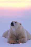 Polar Bear (ursus Maritimus) Posters - A Polar Bear Lying In The Snow Poster by Nick Norman