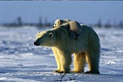 Polar Bear (ursus Maritimus) Posters - A Polar Bear Mother With Her Cub Poster by Norbert Rosing