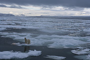 People On Ice Photos - A Polar Bear On A Disintergrating Ice by Paul Nicklen