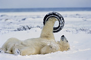 Ursus Maritimus Metal Prints - A polar bear plays with Metal Print by Norbert Rosing