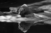 Reflection In Water Prints - A Polar Bear Reflects Print by Karol  Livote