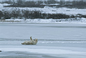 Snow Scenes Art - A Polar Bear Rolls On Its Back On Ice by Tom Murphy