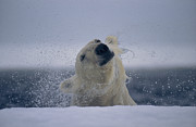 Bears Island Posters - A Polar Bear Shakes Water Off Its Head Poster by Paul Nicklen