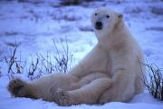 Polar Bear (ursus Maritimus) Posters - A Polar Bear Sits In The Snow Poster by Nick Norman