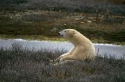 Humorous Photographs Posters - A Polar Bear Takes A Break Poster by Paul Nicklen
