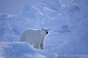 Bears Island Photos - A Polar Bear Walks Through Massive by Paul Nicklen