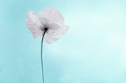 Colored Background Art - A Poppy Against A Cool Blue Background by Alexandre Fundone