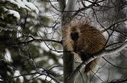 Winter Views Prints - A Porcupine Sits High On A Tree Branch Print by Michael S. Quinton