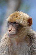 Humanlike Framed Prints - A portait of a monkey in Gibraltar Framed Print by Perry Van Munster