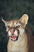 Wildcats Framed Prints - A Portait Of A Snarling Puma Framed Print by Ed George