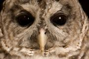 Property Posters - A Portrait Of A Barred Owl Strix Varia Poster by Joel Sartore
