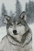 Sawtooth Mountains Metal Prints - A Portrait Of A Beautiful Gray Wolf Metal Print by Jim And Jamie Dutcher