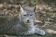 Lynxes Photos - A Portrait Of A Captive European Lynx by Nicole Duplaix