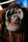 Orangutans Framed Prints - A Portrait Of A Captive Orangutan Pongo Framed Print by Tim Laman