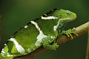 Lizards Photos - A Portrait Of A Fijian Crested Iguana by Tim Laman