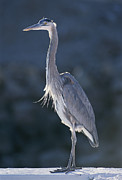 Baja California Sur Prints - A Portrait Of A Great Blue Heron Print by Rich Reid