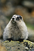 Hoary Prints - A Portrait Of A Hoary Marmot Sitting Print by Michael S. Quinton