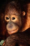 Orangutans Photos - A Portrait Of A Juvenile Orangutan by Tim Laman