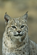 Lynxes Photos - A Portrait Of A Lynx by Norbert Rosing