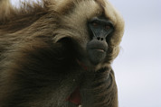Featured Art - A Portrait Of A Male Gelada Baboon by Michael Nichols