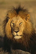 Felines Photos - A portrait of a male by National Geographic