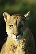 Wildcats Posters - A Portrait Of A Mountain Lion Poster by Norbert Rosing