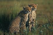 Acinonyx Jubatus Photos - A Portrait Of A Pair Of Juvenile by Chris Johns