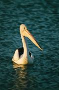 Shark Bay Prints - A Portrait Of A Pelican Swimming Print by Bill Ellzey