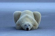 Roosting And Resting Prints - A Portrait Of A Sleeping Polar Bear Print by Rosing, Norbert
