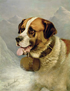 Portrait Of Dog Framed Prints - A Portrait of a St. Bernard Framed Print by James E Bourhill