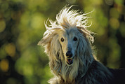 Hounds Framed Prints - A Portrait Of An Afghan Hound Framed Print by Joel Sartore
