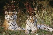 The Tiger Metal Prints - A Portrait Of Koucher And Niurka, Two Metal Print by Dr. Maurice G. Hornocker