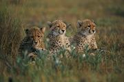 Endangered Cheetahs Art - A Portrait Of Three African Cheetahs by Chris Johns