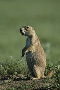 Prairie Dogs Posters - A Prairie Dog Scans Its Territory Poster by Michael Melford
