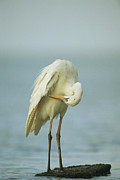 Animal Behavior Art - A Preening Great Blue Heron by Klaus Nigge