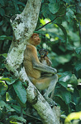 Monkeys Prints - A Proboscis Monkey Print by Tim Laman