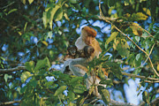 River.etc. Prints - A Proboscis Monkey With Her Twin Print by Tim Laman