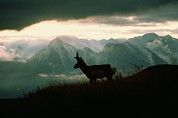 Bison Range Prints - A Pronghorn Stands On A Grassy Hillside Print by Sam Abell